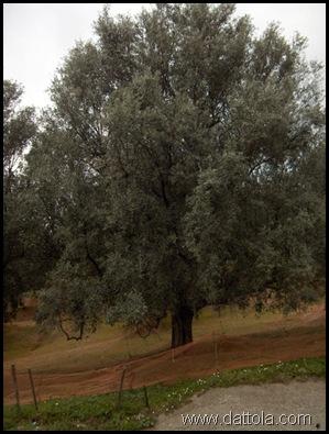 Immagine 017 pianta ulivo