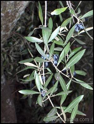 Immagine 082 olive