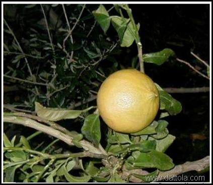 frutto maturo