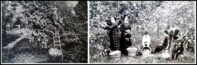 raccolta bergamotti