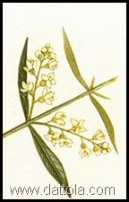 fiori dell-olivo