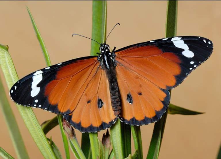 Monarca Africana
